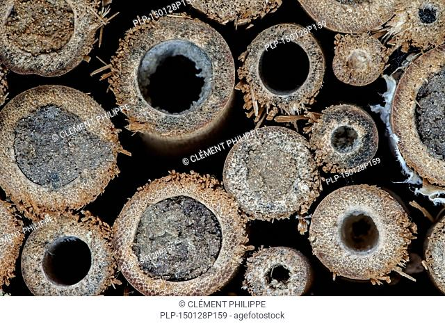 Sealed nest cavities by mason bees / builder bee Osmia cornuta in hollow stems with mud plugs at insect hotel for solitary bees