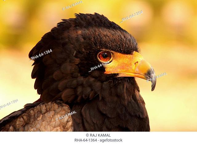 Bateleur Terathopius ecaudatus is a medium-sized eagle in the bird family Accipitridae, resident in Sub-Saharan Africa, in captivity in the United Kingdom