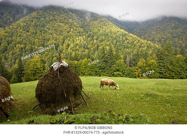 View of hay stooks, cow grazing amongst autumn crocus flowers in meadow, with autumnal mixed woodland on mountain slopes, Piatra Craiulu Mountains, Carpathians
