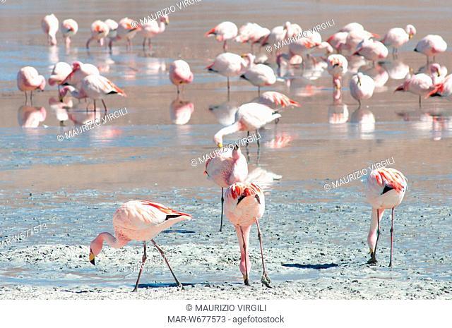 fenicottero di james, phoenicoparrus jamesi, laguna hedionda, fenicotteri, riserva eduardo avaroa, los lipez, altopiano, bolivia, america del sud