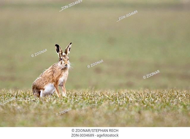 Feldhase Lepus europaeus - Hare Lepus europaeus