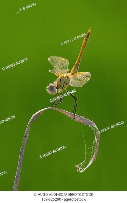 Dragonflies. Ebro delta. Spain