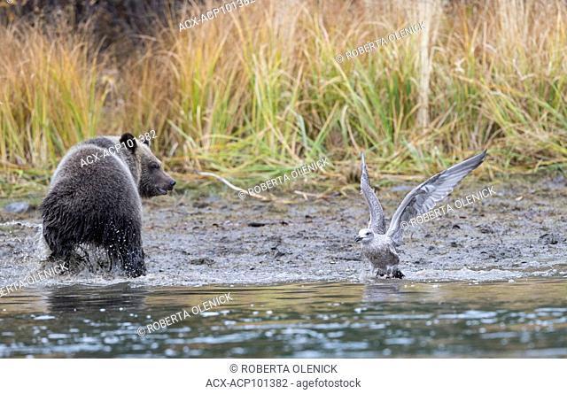 Grizzly bear (Ursus arctos horribilis), cub of the year, interacting with immature herring gull (Larus argentatus), Central Interior, British Columbia, Canada