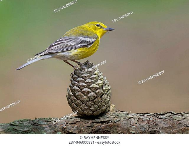 A yellow Pine Warbler perches on a Pine Cone in the soft sunlight with a smooth green and brown background
