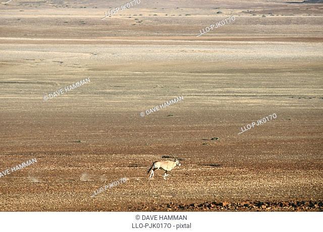 Lone Gemsbok Oryx gazelle on desert plain. Skeleton Coast, Namibia, Africa