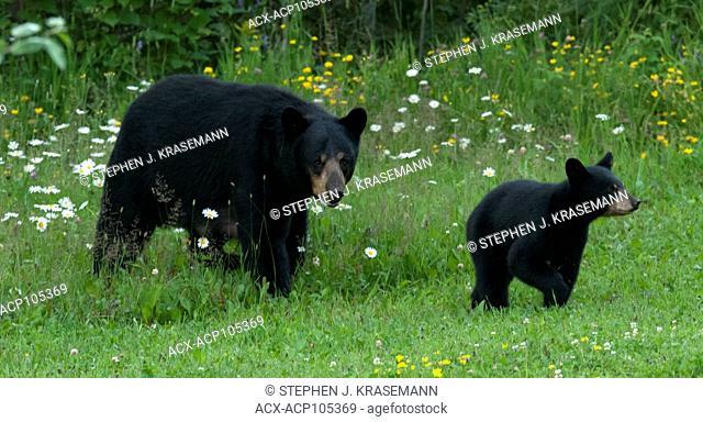 WIld American black bear (Ursus americanus) Female or Sow and Cub, near Lake Superior, Ontario Canada