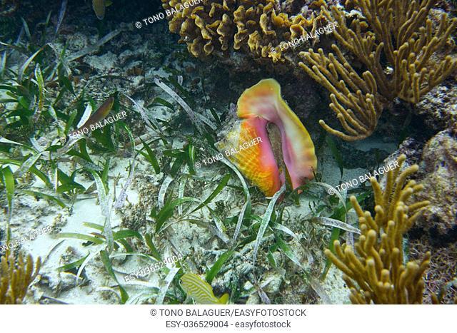 Mesoamerican barrier Great Mayan Reef sea shell in Riviera Maya Mexico