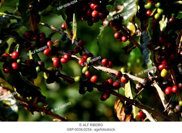 Coffee fruits; Coffea arabica; planting of the Biological Institute; Sao Paulo; SP; Brazil
