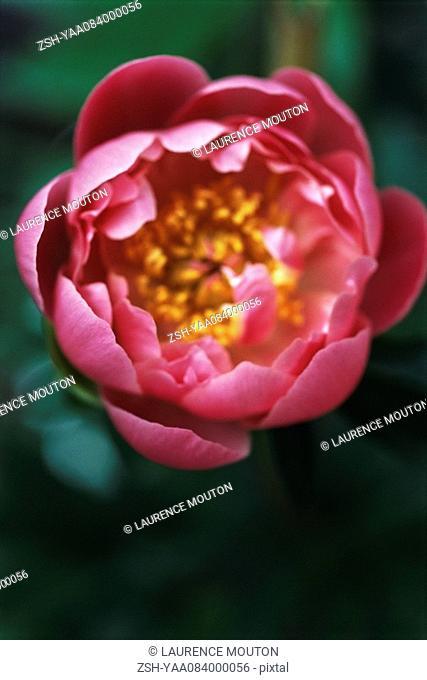 Camellia blossom opening