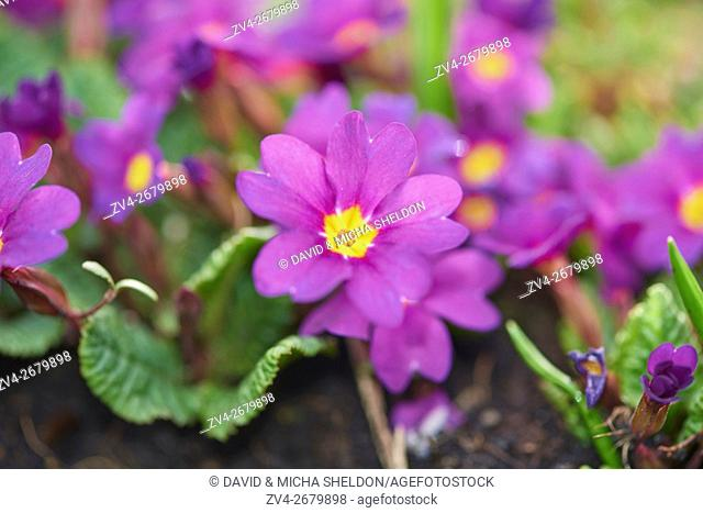 Close-up of pink primula (Primula vulgaris) blossoms in a garden in spring