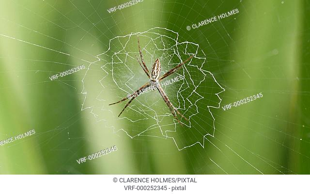 A juvenile female Black and Yellow Argiope (Argiope aurantia) spider waits for prey on the stabilimentum at the center of its web