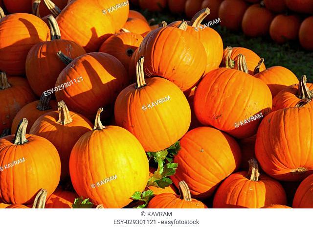Autumn holiday - Halloween. Gorgeous mature orange pumpkin picturesque piles spread out on the grass. Sunset warm light illuminates all