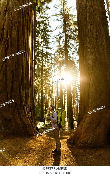 Hiker hiking among sequoia trees, Sequoia National Park, California, USA