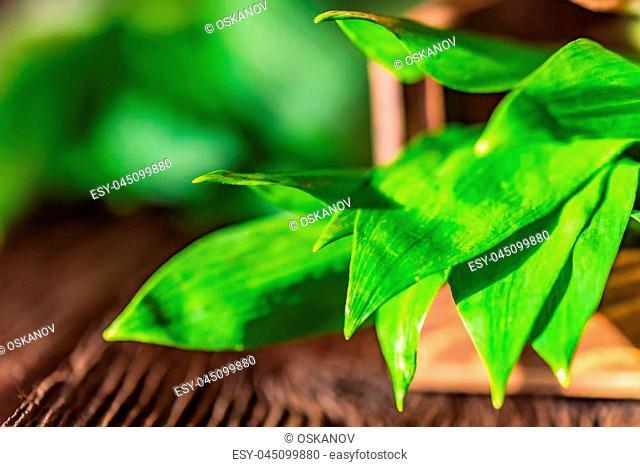 Close up fresh greenramsons or Allium ursinum leaves on dark wooden background