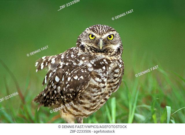 Endangered Burrowing Owl (Athene cunicularia) stare standing in grass near Ft. Meyers Florida USA