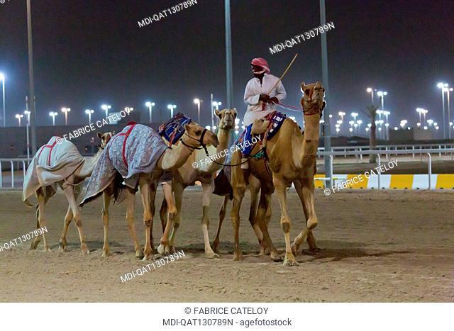 Qatar - Al Sheehaniya - Camelodrome - Dromedaries trained at night