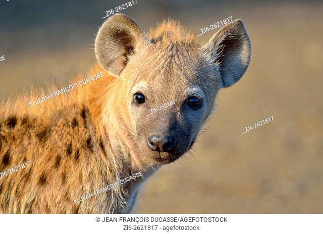 Spotted hyena or Laughing hyena (Crocuta crocuta) cub, in the morning light, Kruger National Park, South Africa, Africa