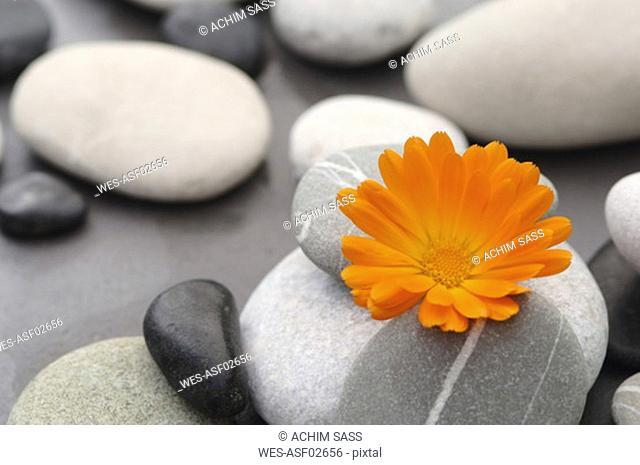Calendula blossom between stones, close-up