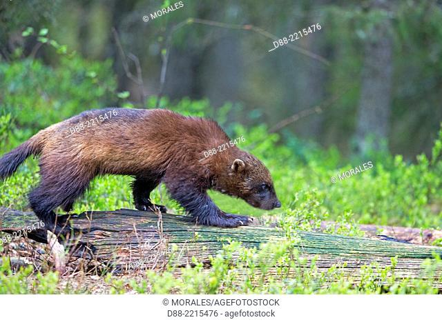 Europe,Finland,Kuhmo area,Kajaani,Wolverine (Gulo gulo),in the forest