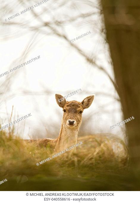 A fallow-deer in it's natural habitat