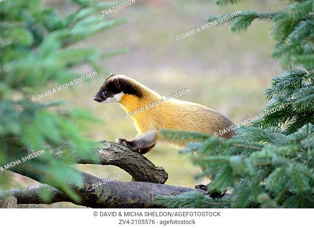 Yellow-throated marten or kharza (Martes flavigula) climbing on a tree