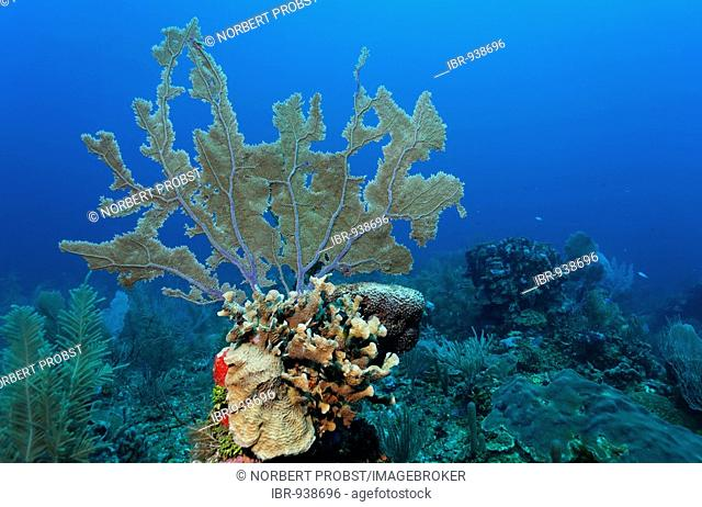 Common Sea Fan coral (Gorgonia ventalina) growing on a towering block of coral on a coral reef, barrier reef, San Pedro, Ambergris Cay Island, Belize