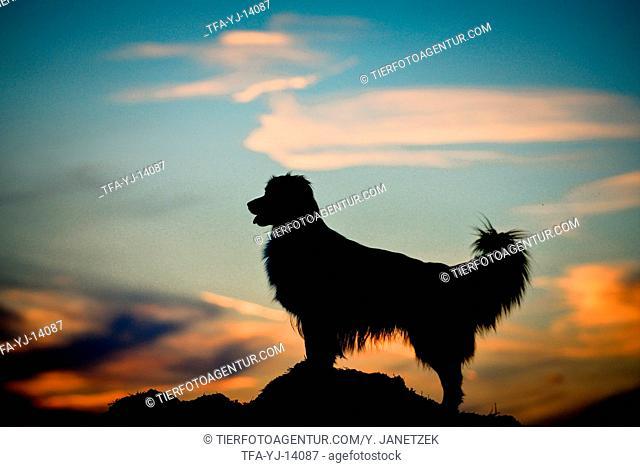 standing Australian Shepherd