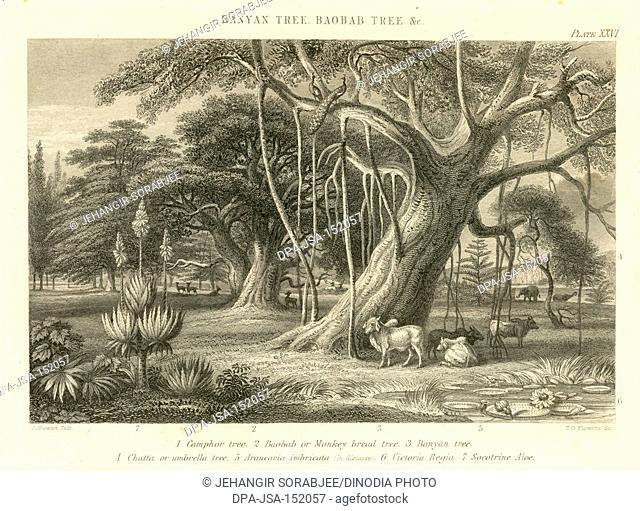 Lithographs Banyan Tree , Baobab Tree & etc , India