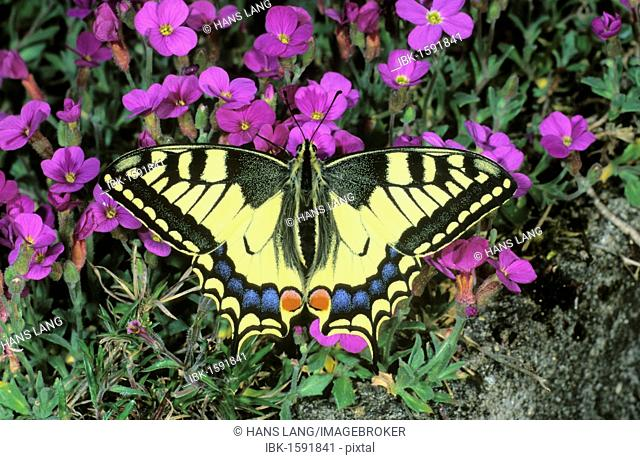Old World Swallowtail (Papilio machaon) gathering nectar on an Aubrieta