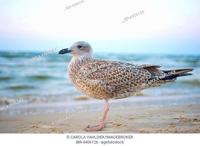 Juvenile gull (Larus fuscus fuscus) with plumage, Usedom Island, Baltic Sea, Mecklenburg-Western Pomerania, Germany