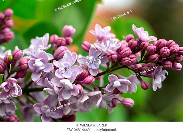 Green branch with spring lilac flowers