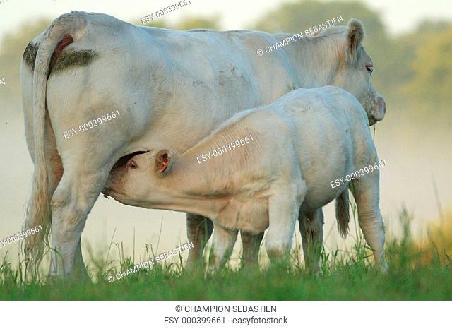 calf suckling cow
