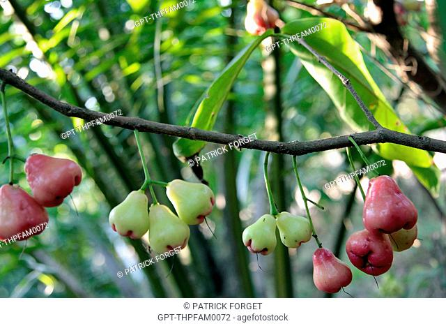 ROSE APPLES OR WATER APPLES, TROPICAL FRUIT GROWING ON THE SYZYGIUM JAMBOS TREE, THAILAND, ASIA
