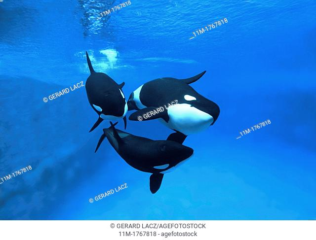 Killer Whale, orcinus orca, Adults