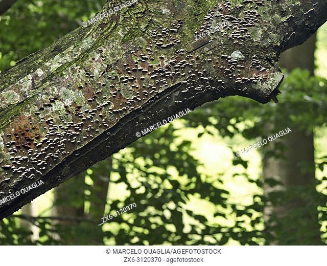 Tree fungus. Montseny Natural Park. Barcelona province, Catalonia, Spain