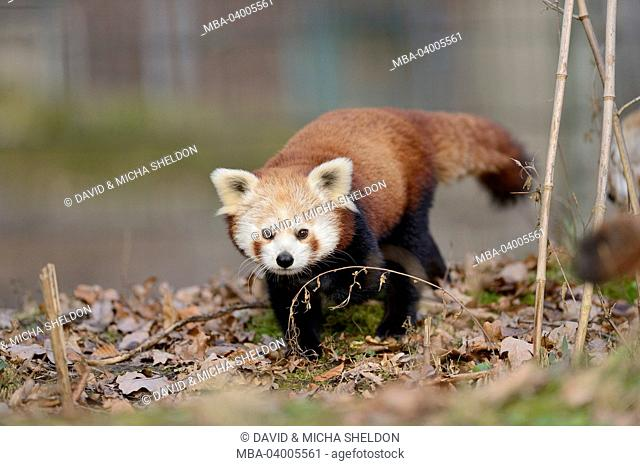 lesser pandas, Ailurus fulgens, forest floor, frontal, running, looking at camera