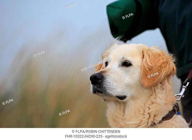 Domestic Dog, Golden Retriever, adult, close-up of head, wearing collar and lead, Norfolk, England, October