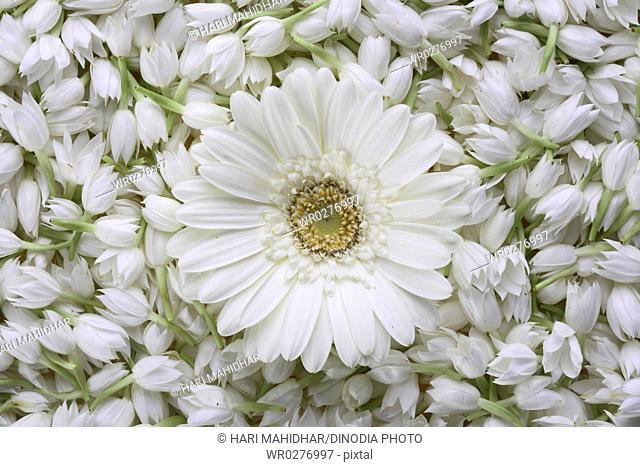 jasmine sambak flowers mogra with gerbera stock photos and images