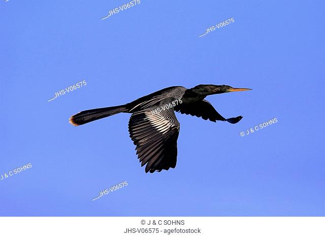 Anhinga, (Anhinga anhinga), Wakodahatchee Wetlands, Delray Beach, Florida, USA, Northamerica, adult flying