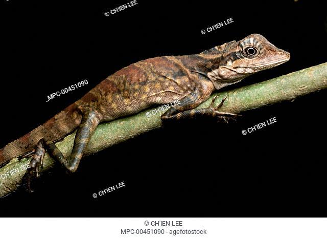 Bornean Crested Lizard (Gonocephalus grandis) female, Gunung Gading National Park, Malaysia