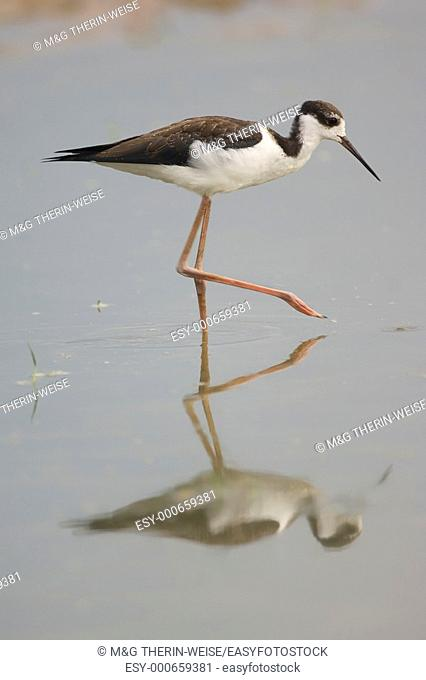 Common Stilt or Black-winged Stilt, Himantopus himantopus, Recurvirostridae Family, Charadriiformes order, Pantanal, Mato Grosso, Brazil