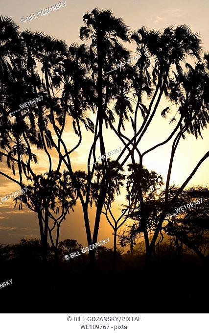 Sunset through the Palm Trees - Samburu National Reserve, Kenya