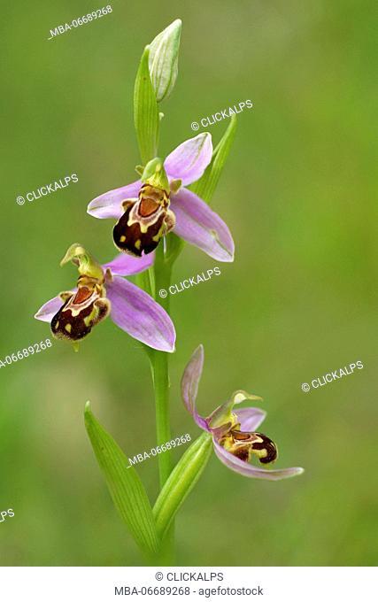Ophrys apifera, Liguria, Italy, Vobbia