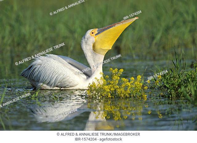 Eastern White Pelican (Pelecanus onocrotalus)
