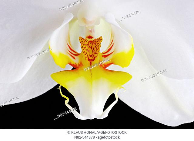 Orchid blossom close up - cultigen