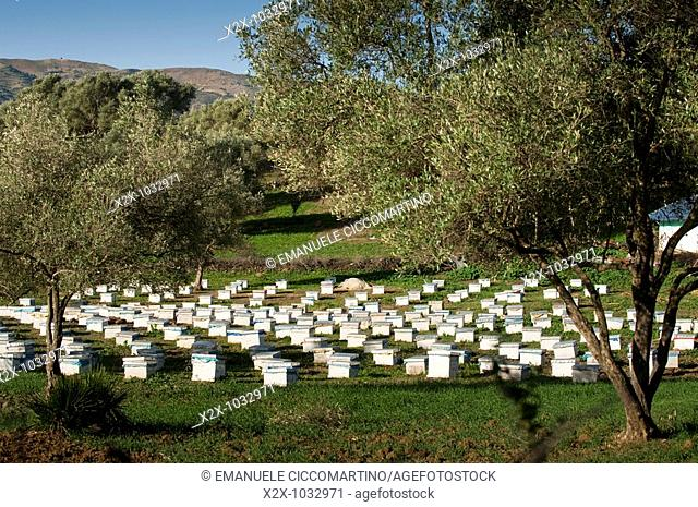 Beehives in the olive grove, Rif mountains, Chefchaouen, Morocco