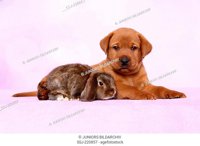 Labrador Retriever. Puppy (5 weeks old) lying next to dwarf lop-eared bunny. Germany. Studio picture seen against a pink background
