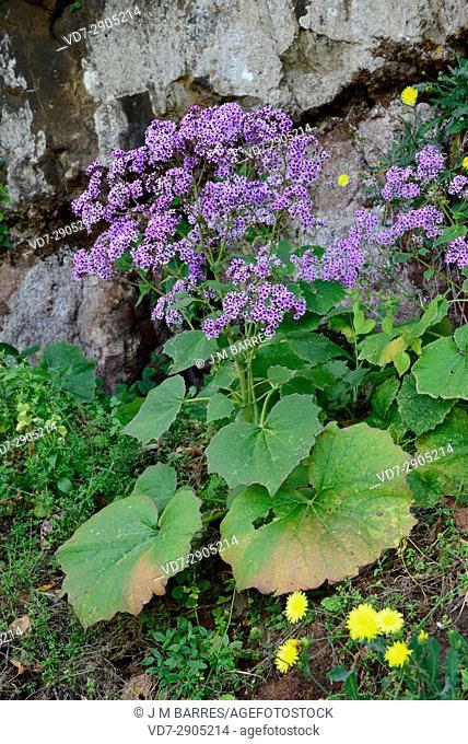 Encimba (Pericallis papyracea) is a perennial plant endemic of La Palma Island, Canary Islands, Spain