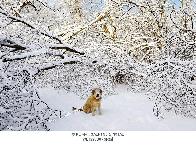Dog sitting on forest path with broken trees covered with ice and snow after storm in Toronto