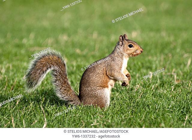 Grey Squirrel Profile, London